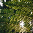 Tree ferns are older than dinosaurs. And that's not even the most interesting thing about them